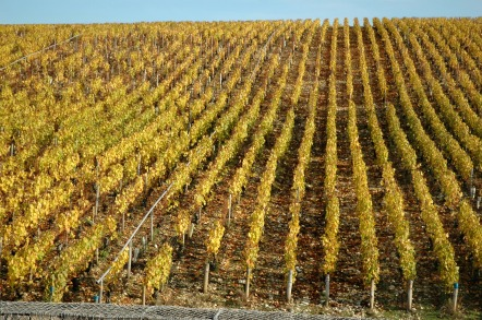 Chablis vineyard