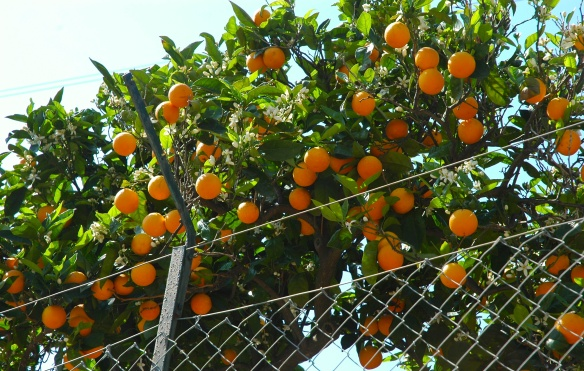 ...and orange trees heavy with fruit