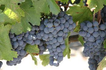 440px-Malbec_grapes