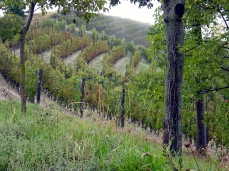 Cucu vineyard_edited
