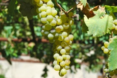 Rkatsiteli grapes