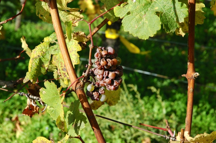 Grapes with Noble Rot