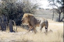 Lion-2_edited