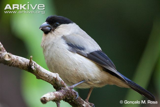 azores-bullfinch-side-view