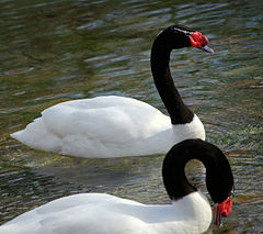 black_necked_swan