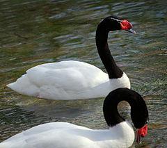 black_necked_swan