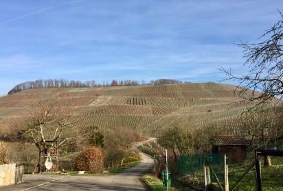 Lemberger vineyards