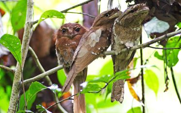 2560px-Ceylon_Frogmouth_by_N.A._Naseer