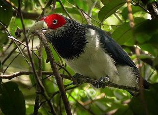 440px-Red-faced_Malkoha_x