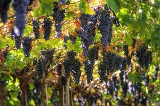 440px-Grapes_growing_in_Valpolicella